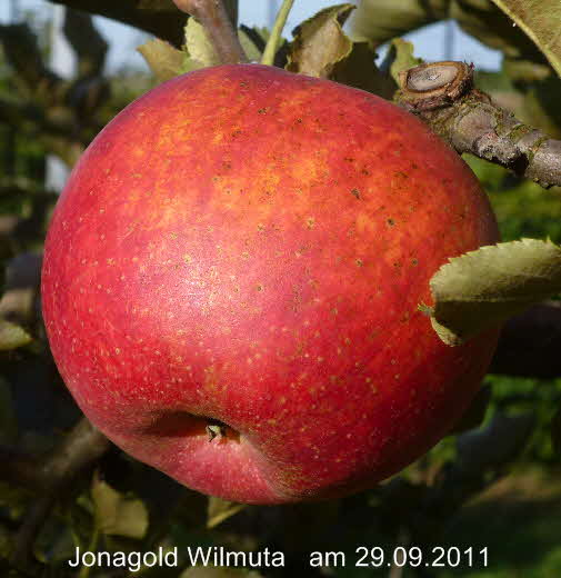 jonagold apple calories